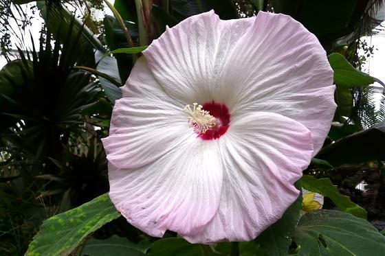 hibiscus des marais, fleur vivace géante