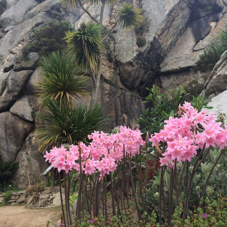 Amaryllis Belladonna Une Plante Bulbeuse