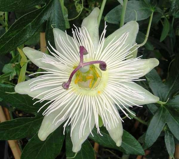 La Passiflore Caerulea,  Une Plante Rustique