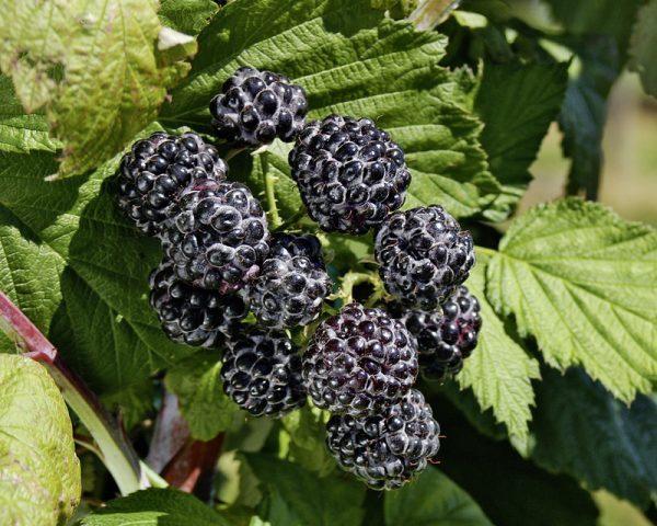 Framboise Noire «jewel», Fruit Sombre Au Potager