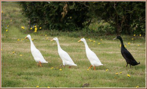 Canard Coureur Indien : Un Anti-limace Au Jardin