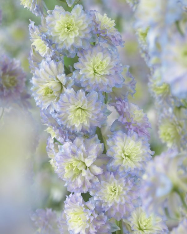 delphinium vivace aux couleurs pastels