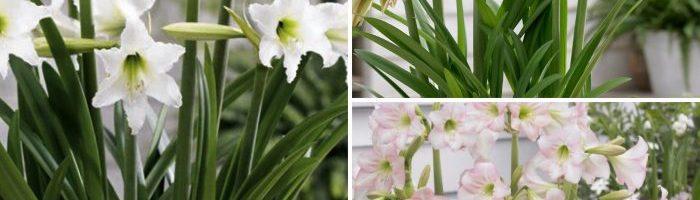 Les Amaryllis Sonatini S'épanouissent Au Jardin