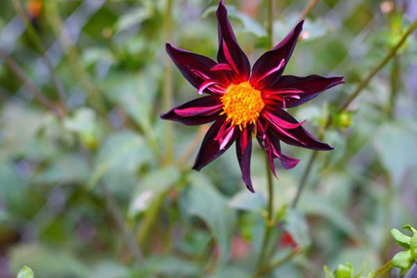 Le Dahlia Verron's Obsidian, Une Beauté Sombre